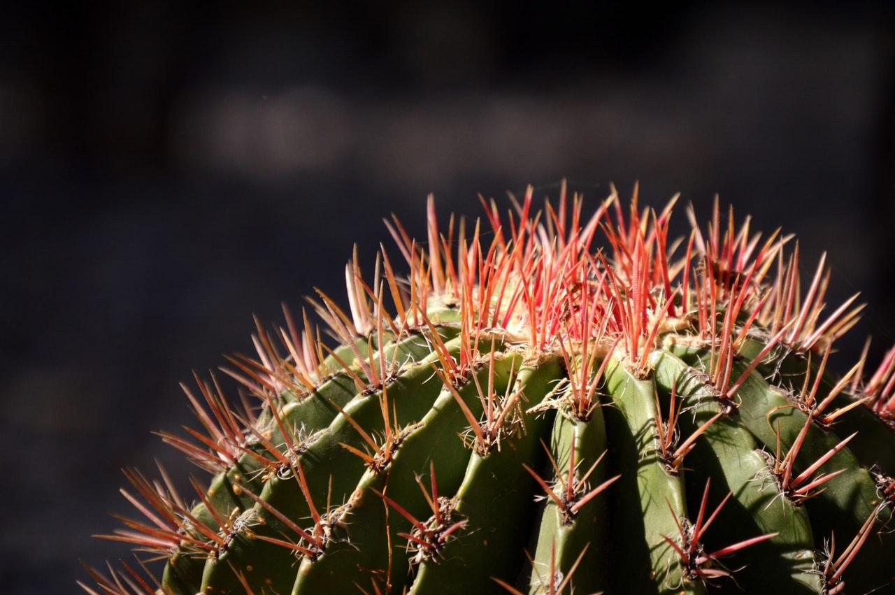 Cactus at chihuahua desert