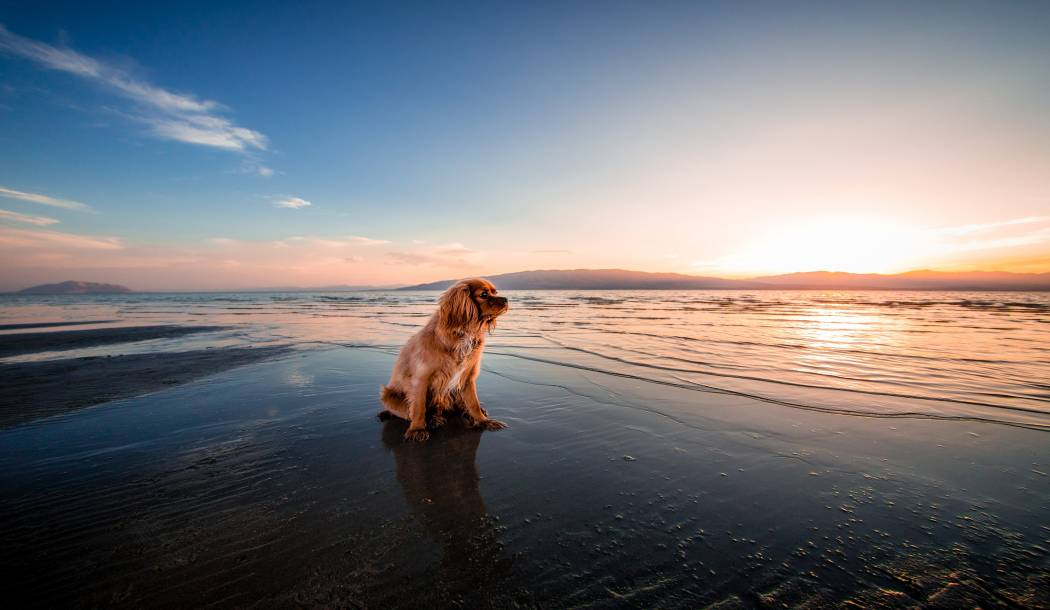 Dog at the beach on sunset