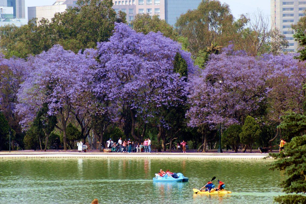 Mexico City turns purple with the flowers of jacaranda