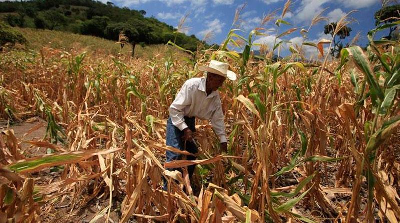 Cornfield importance in Guatemala