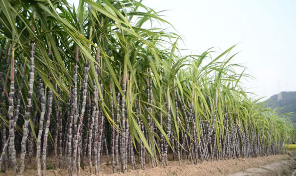 Sugar agribusiness importance in Guatemala